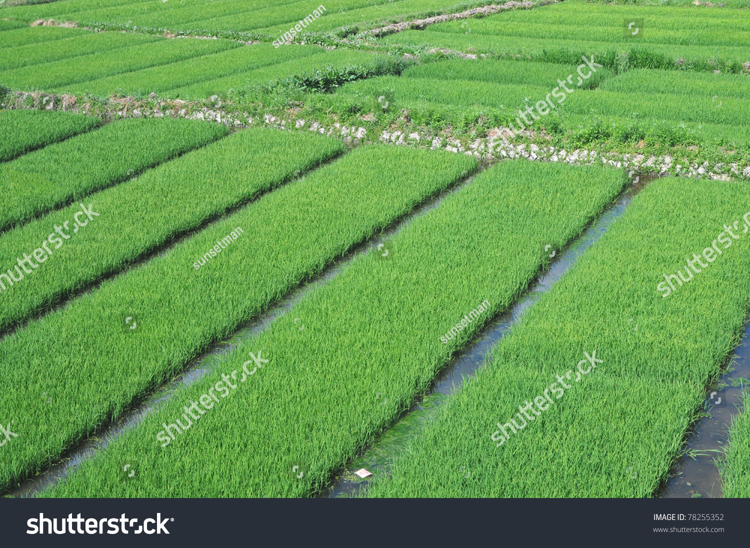 neat patches rice field