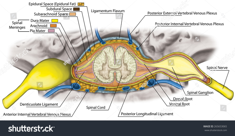 lumbar nerve root diagram videx door entry phone wiring nervous system structure spinal cord stock illustration of spine vertebra