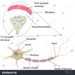Blank Diagram Of Synapse Fetal Pig Mouth Neuron Labeled Stock Illustration