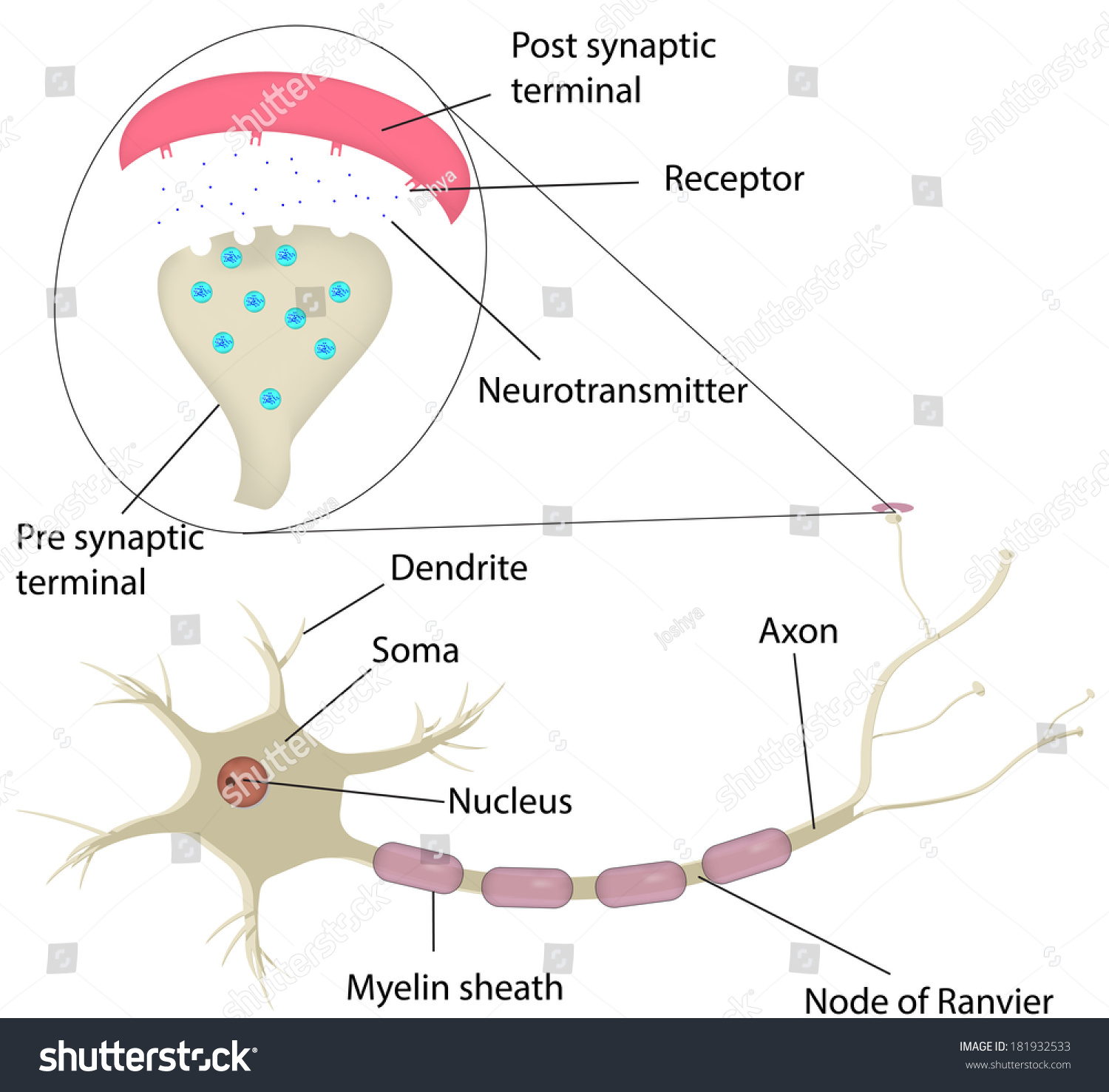 synapse diagram label lawn mower starter wiring neuron labeled stock illustration