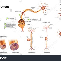 Detailed Neuron Diagram 2004 Gmc Sierra Wiring Different Kinds Of Neurons Structure A Typical Ez Canvas