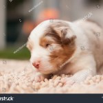 Newborn Australian Shepherd Puppy Dog Stock Photo Edit Now 1409105684