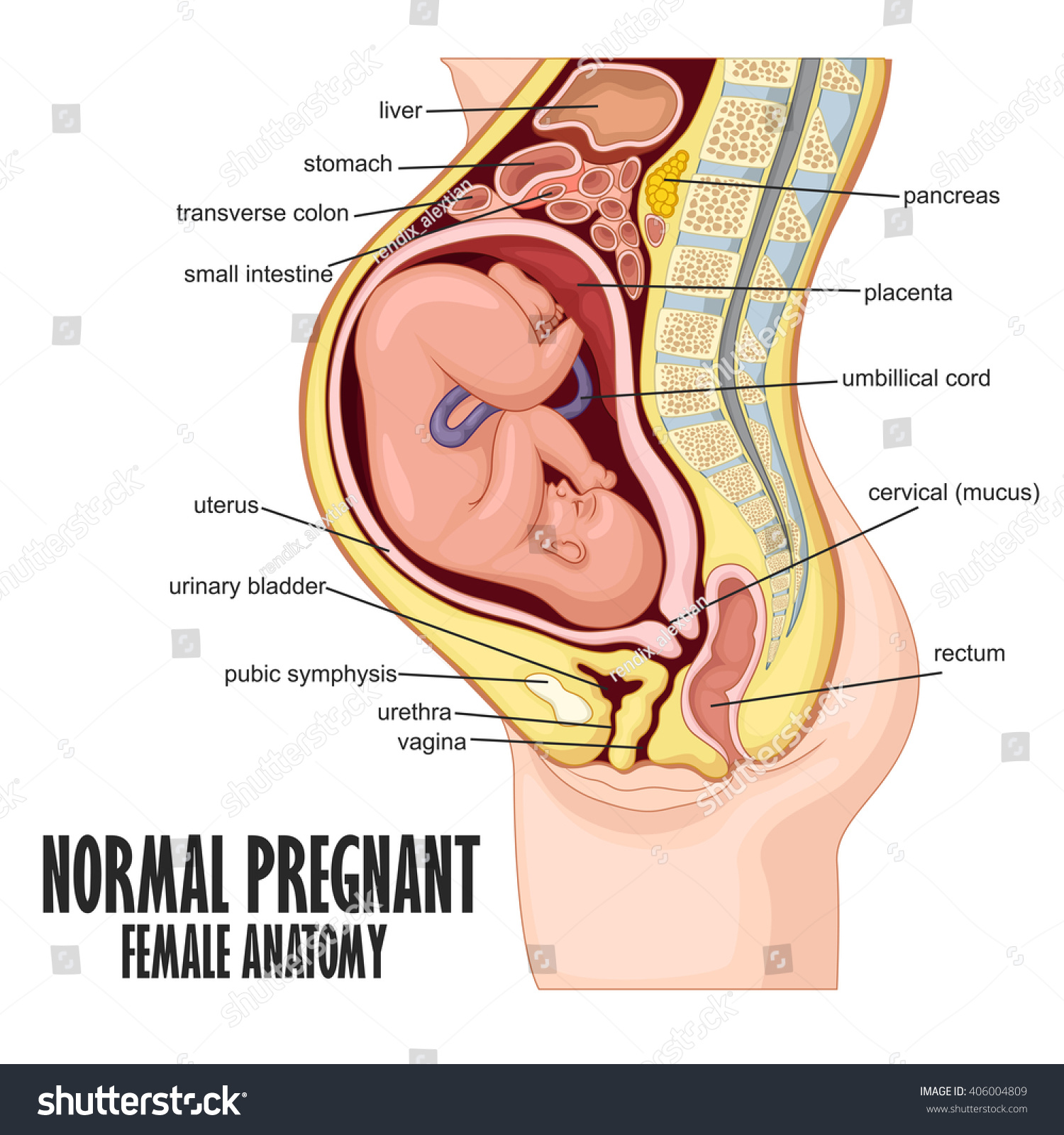 hight resolution of pregnant woman diagram