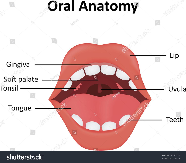 lip anatomy diagram 2004 isuzu rodeo stereo wiring oral stock photo 307627535 shutterstock