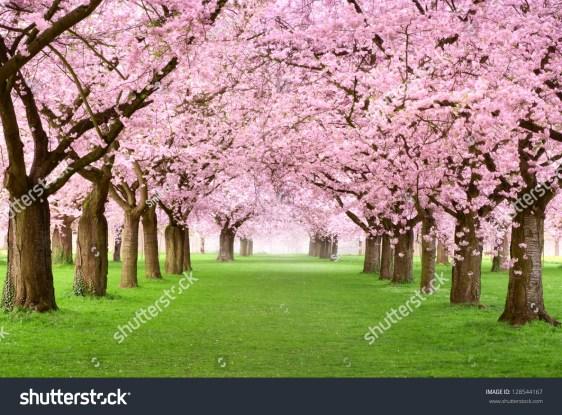 新緑の芝生に大きな桜の木が咲く観賞用の庭