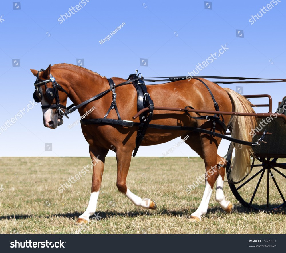 medium resolution of partial isolation of a pony in harness for a carriage