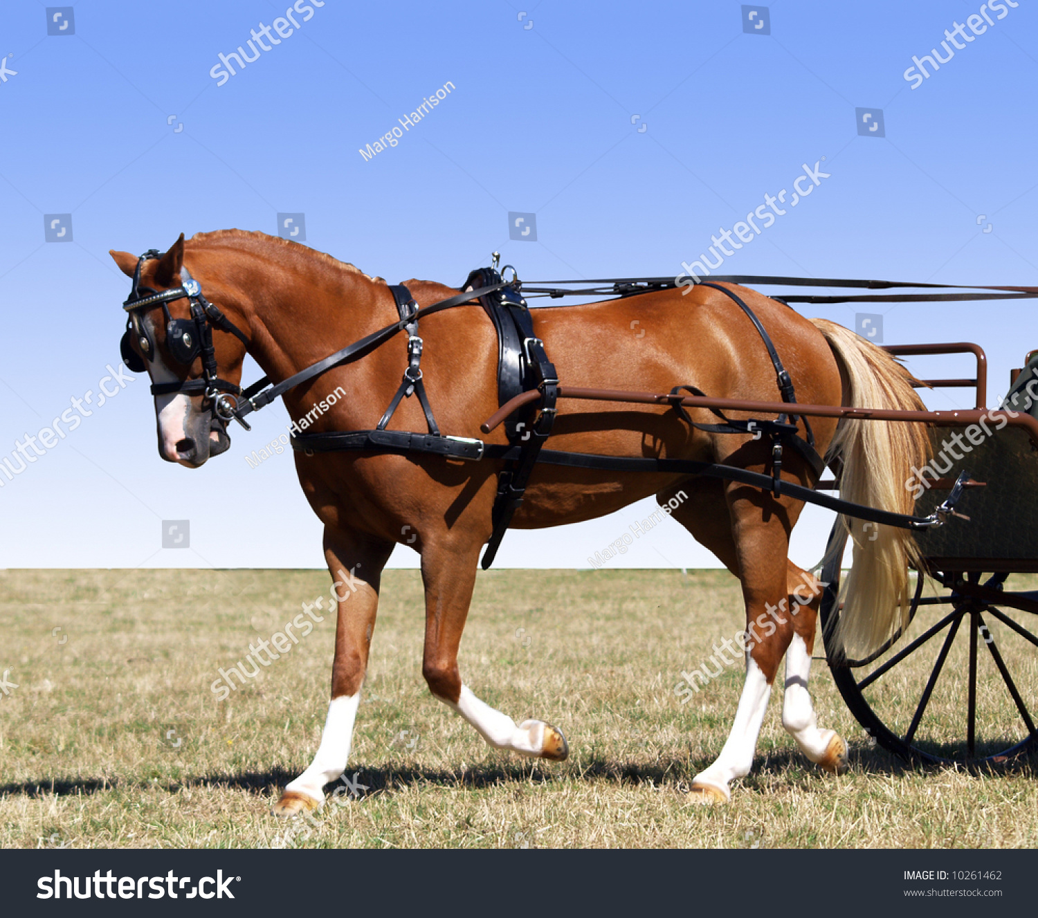 hight resolution of partial isolation of a pony in harness for a carriage