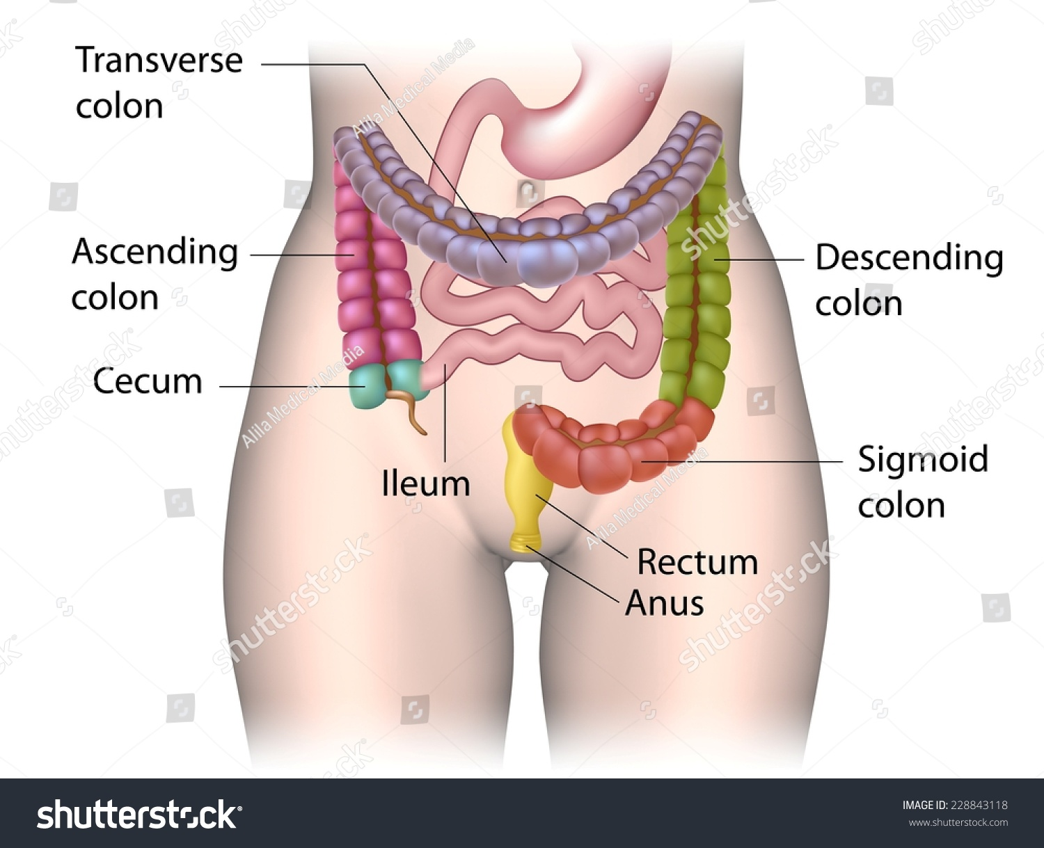 hight resolution of parts of colon color coded labeled