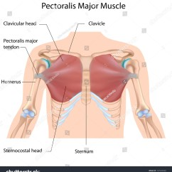 Major Muscle Diagram To Label Garage Consumer Unit Wiring Uk Pectoralis Labeled Stock Illustration