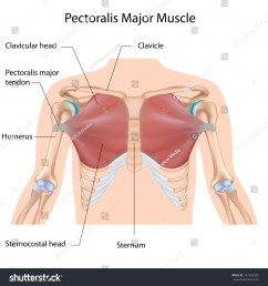 pectoralis major muscle labeled [ 1500 x 1600 Pixel ]