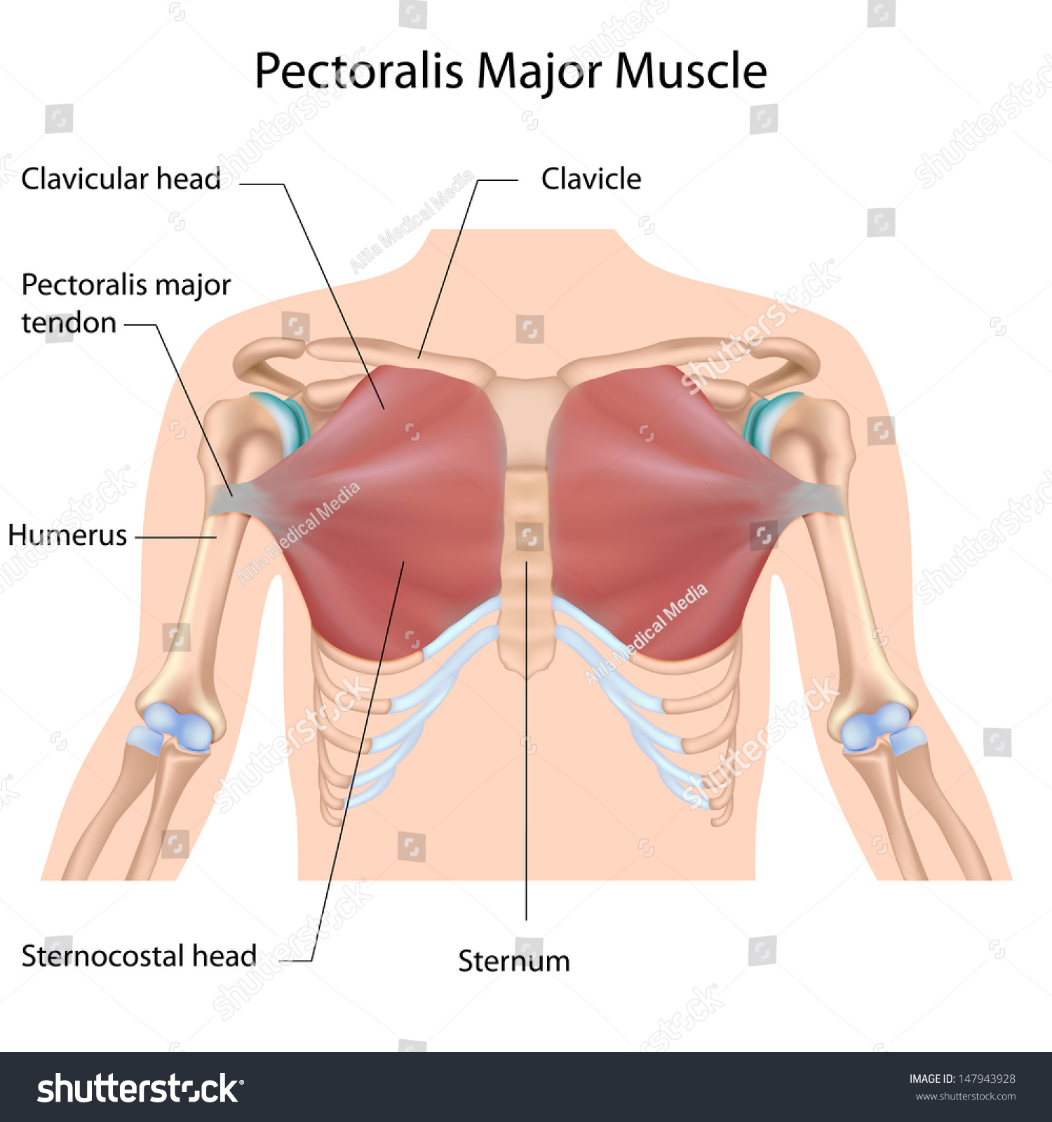 hight resolution of pectoralis major muscle labeled