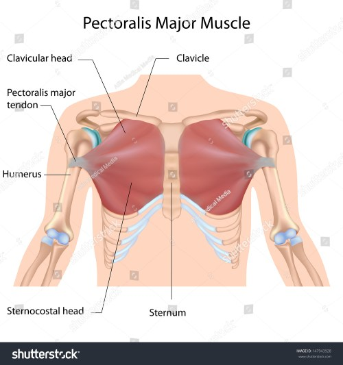 small resolution of pectoralis major muscle labeled