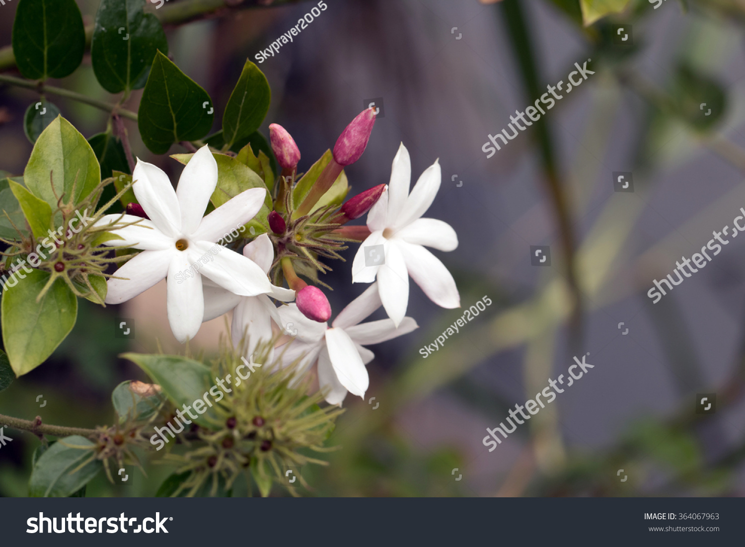 Jasmine Types Of Hawaiian Flowers