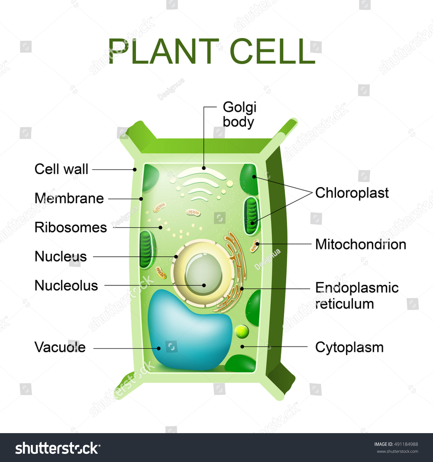 plant pith diagram cross section how to wolf whistle cell anatomy stock illustration