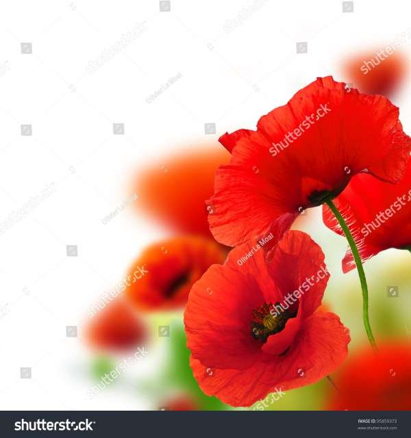 Poppies White Background Green Red Floral Stock Photo