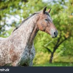 Portrait Beautiful Appaloosa Horse Summer Stock Photo Edit Now 361857269