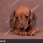 Red Dachshund Puppy On Brown Background Stock Photo Edit Now 372860272