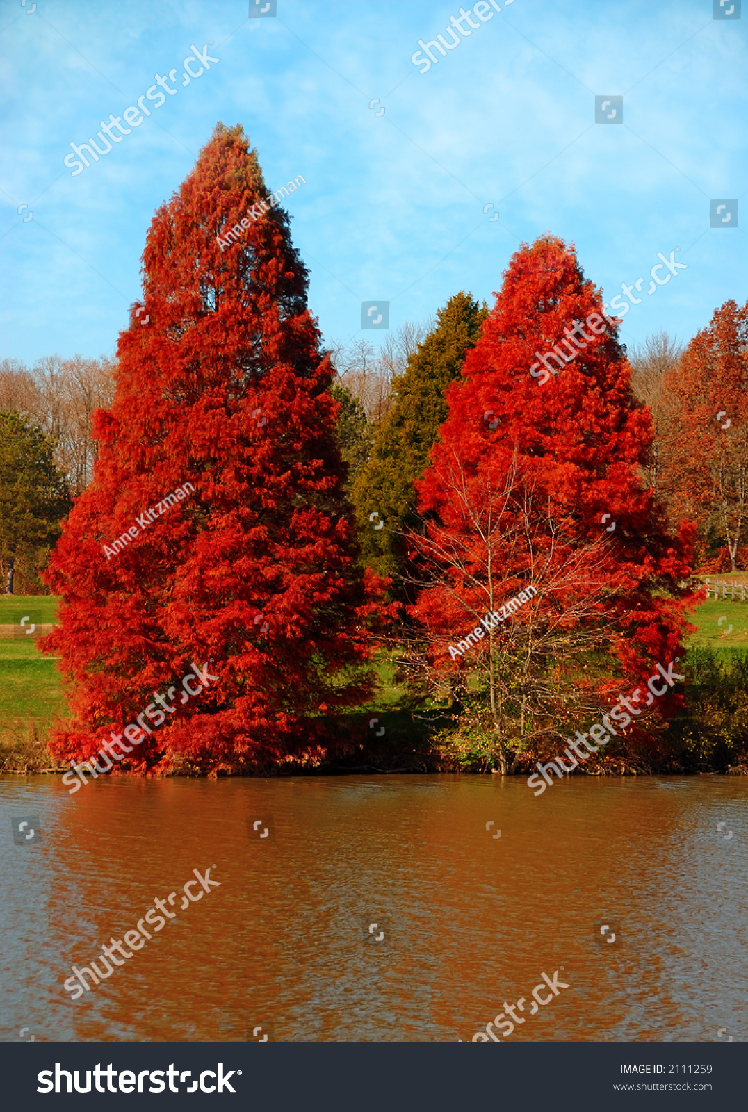Free Country Fall Wallpaper Red Pines Two Pine Trees Red Stock Photo 2111259