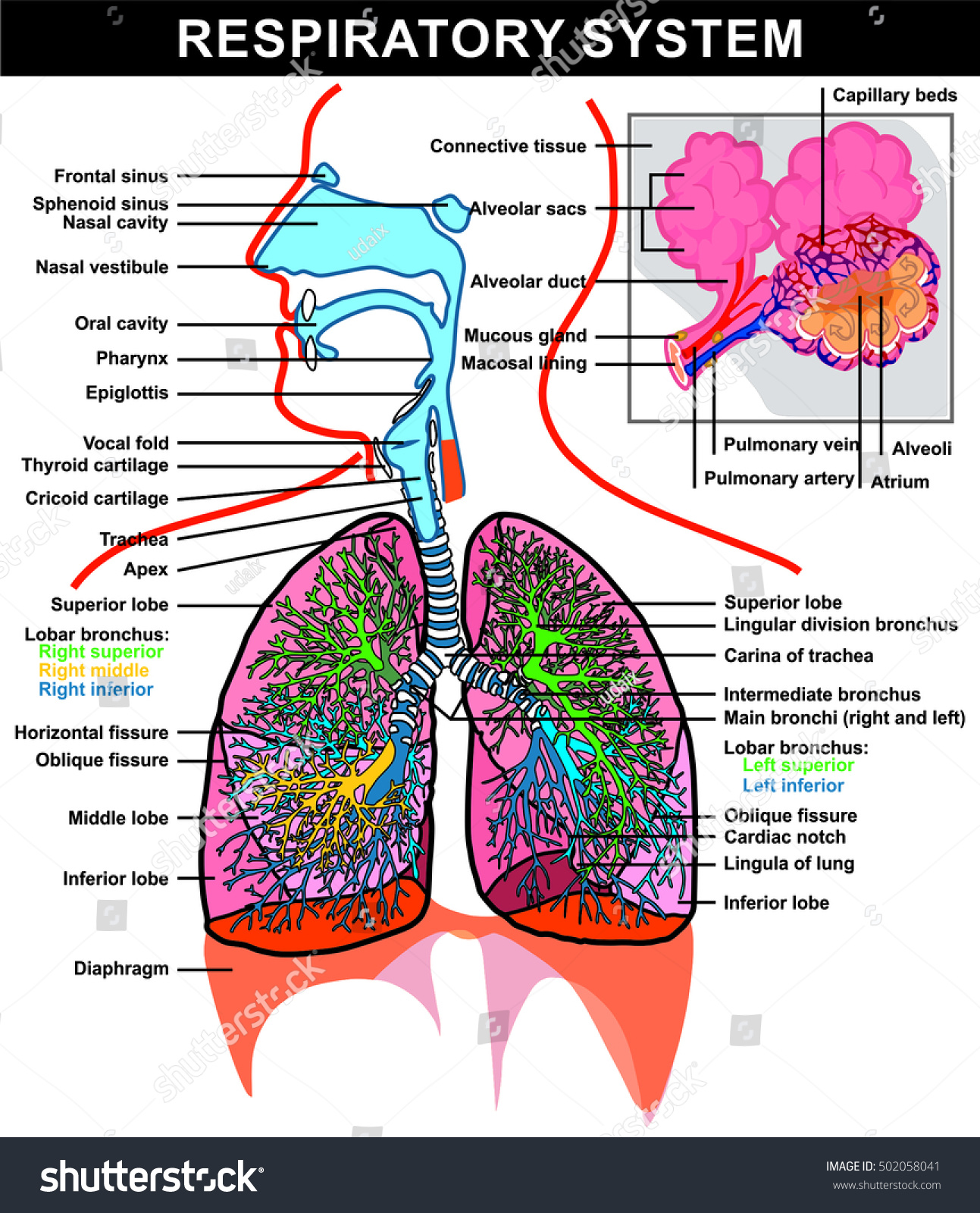 lung alveoli diagram electron dot of ammonium ion respiratory system full details stock