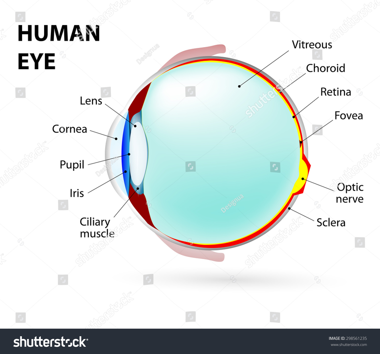 hight resolution of schematic diagram of the eye human anatomy labeled