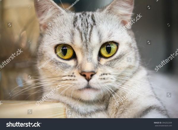 Selective Focus Of Cute Cat Eyes Stock 394202209 Shutterstock
