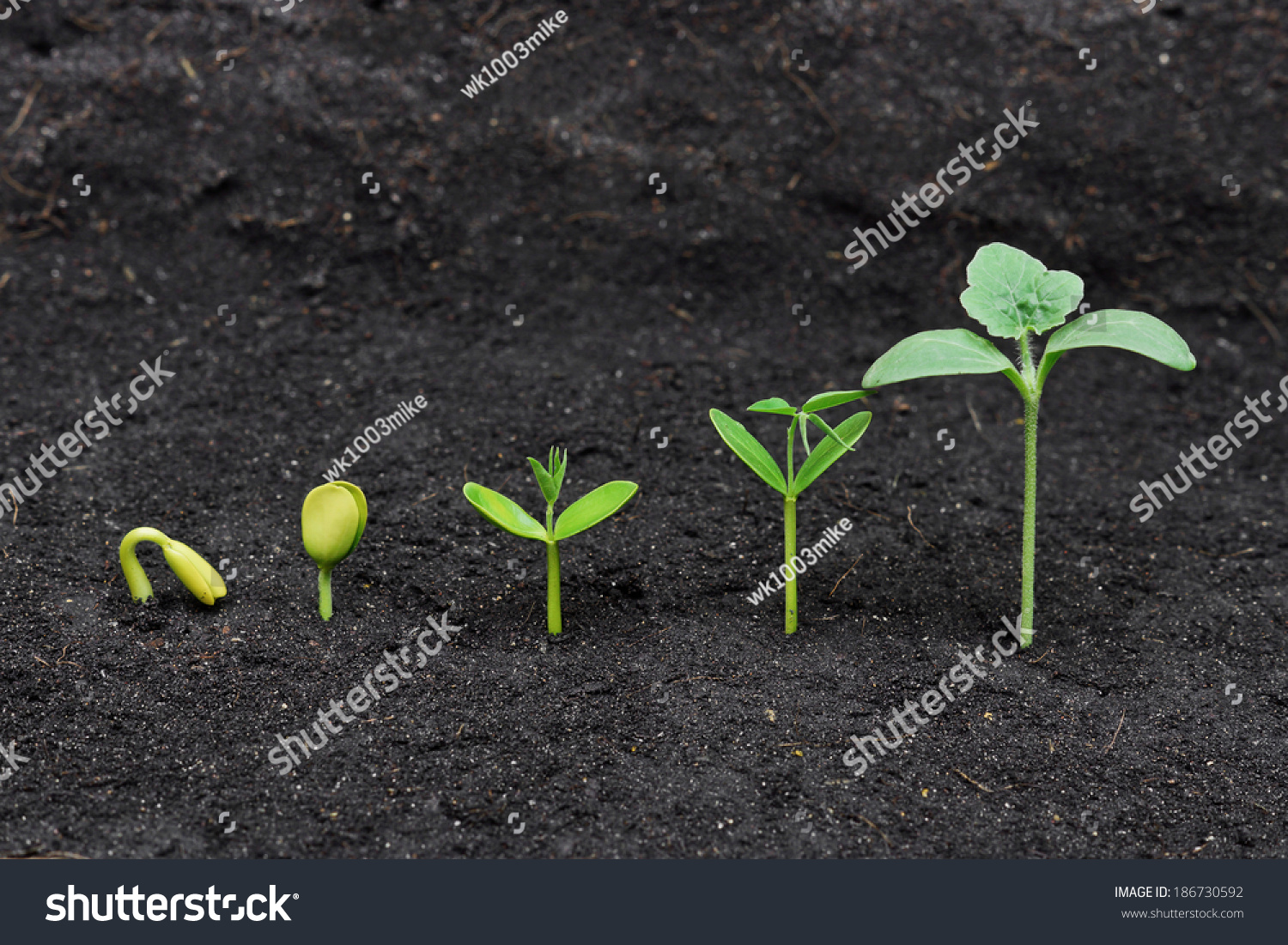 Sequence Seed Germination On Soil Evolution Stock Photo