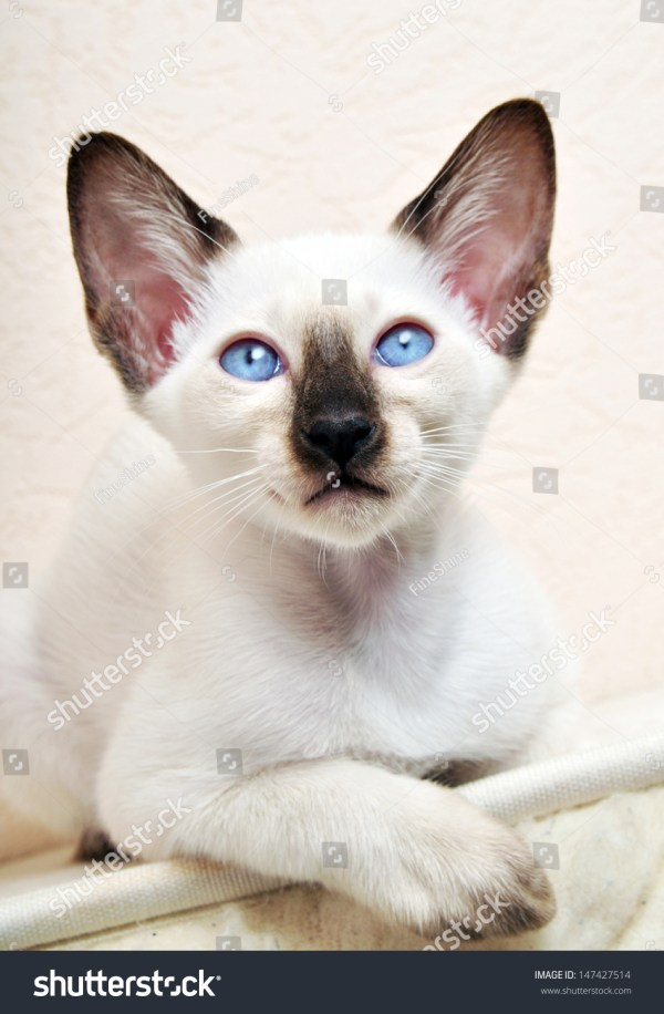 Kitten Craigslist 8 Weeks Siamese - Year of Clean Water