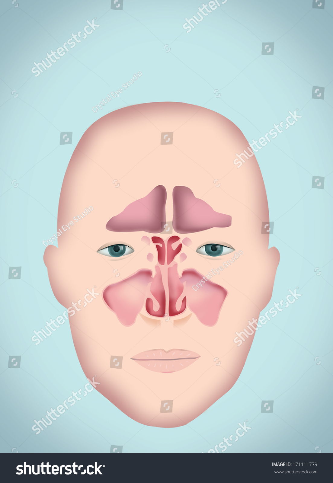 hight resolution of sinus diagram human anatomy without labels version