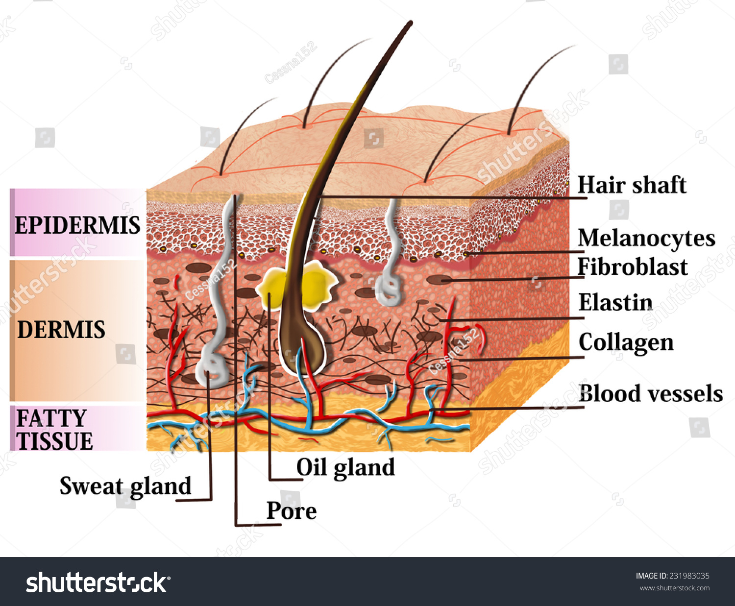 skin cross section diagram 1 gang one way switch wiring anatomy description illustration stock with of