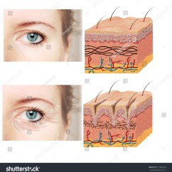 Skin Cross Section Diagram Evinrude Etec Wiring Anatomy Younger Older Skincomparation Stock