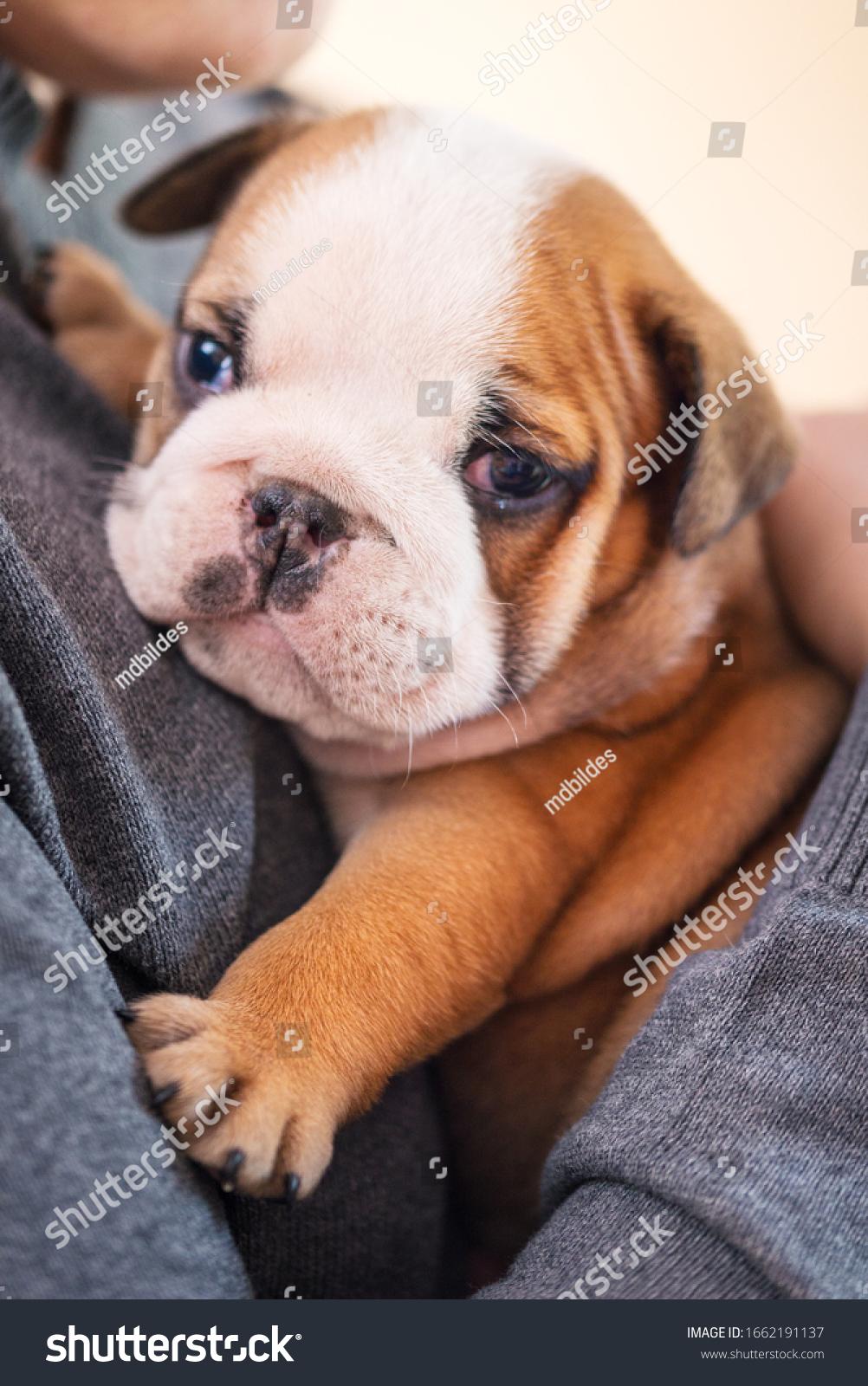 Newborn Baby Bulldogs : newborn, bulldogs, Small, Little, English, Bulldog, Puppy, Stock, Photo, (Edit, 1662191137