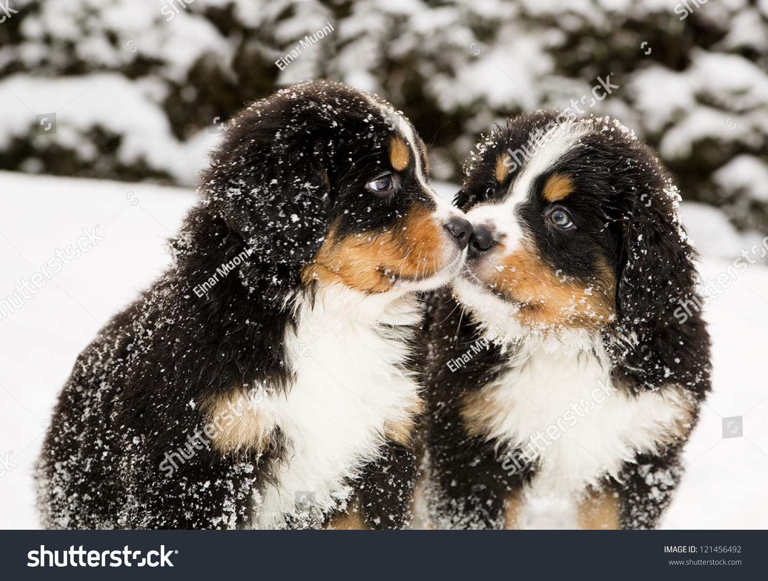Snowy Bernese Mountain Dog Puppets Sniff Each Others Stock Photo 121456492 : Shutterstock