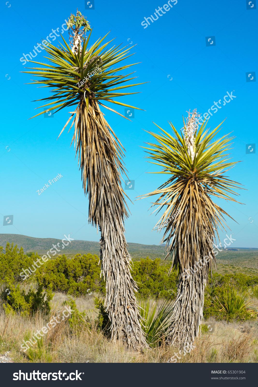 Soap Tree Yucca Stock Photo 65301904 : Shutterstock