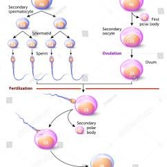 Steps Of Meiosis Diagram 2008 Ford F150 Ac Wiring Spermatogenesis Oogenesis Ovogenesis Creation