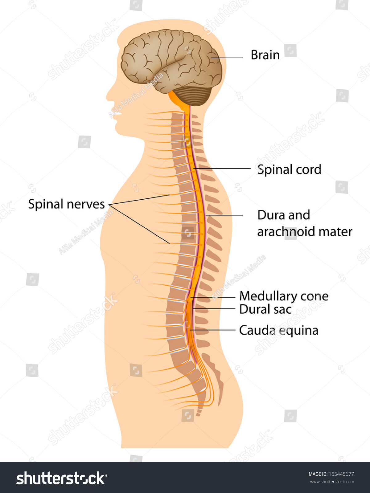 hight resolution of spinal cord labeled