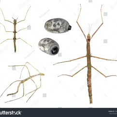 Walking Stick Insect Life Cycle Diagram 480v 3 Phase Wiring Stages Development Asian Stock Photo