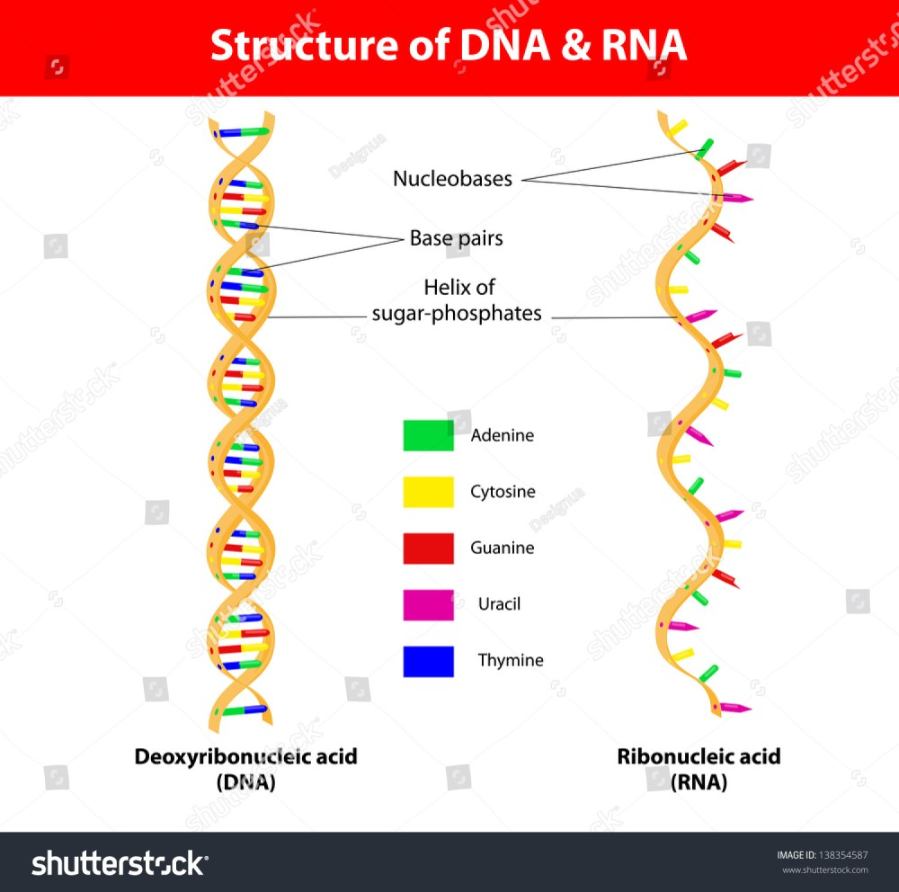 medium resolution of structure dna and rna molecule the difference between the nitrogenous bases of dna and that of rna is that thymine t in dna is translated into uracil u