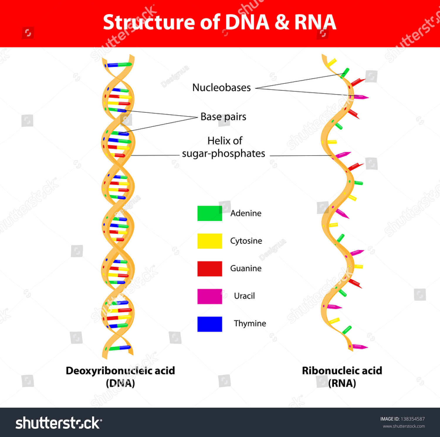 hight resolution of structure dna and rna molecule the difference between the nitrogenous bases of dna and that of rna is that thymine t in dna is translated into uracil u