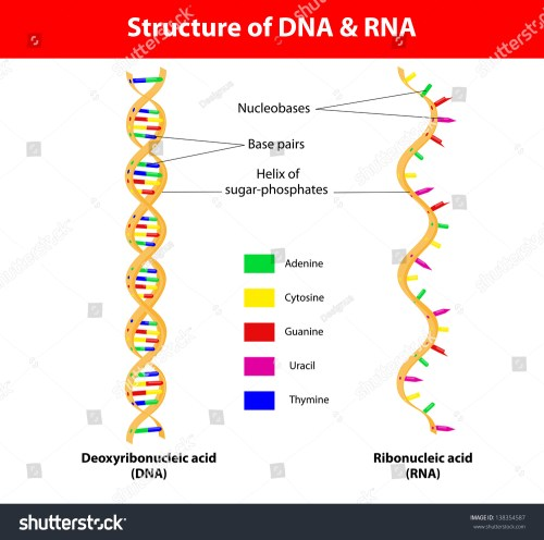 small resolution of structure dna and rna molecule the difference between the nitrogenous bases of dna and that of rna is that thymine t in dna is translated into uracil u