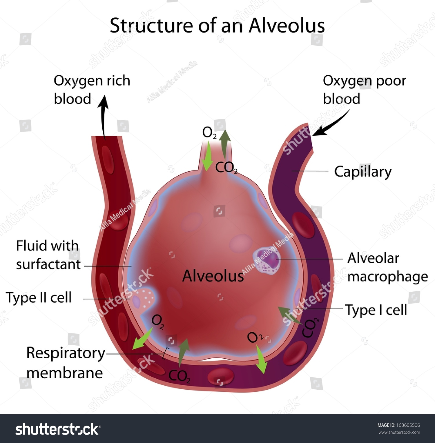 lung alveoli diagram 7 way bargman plug wiring structure of an alveolus stock photo 163605506 shutterstock
