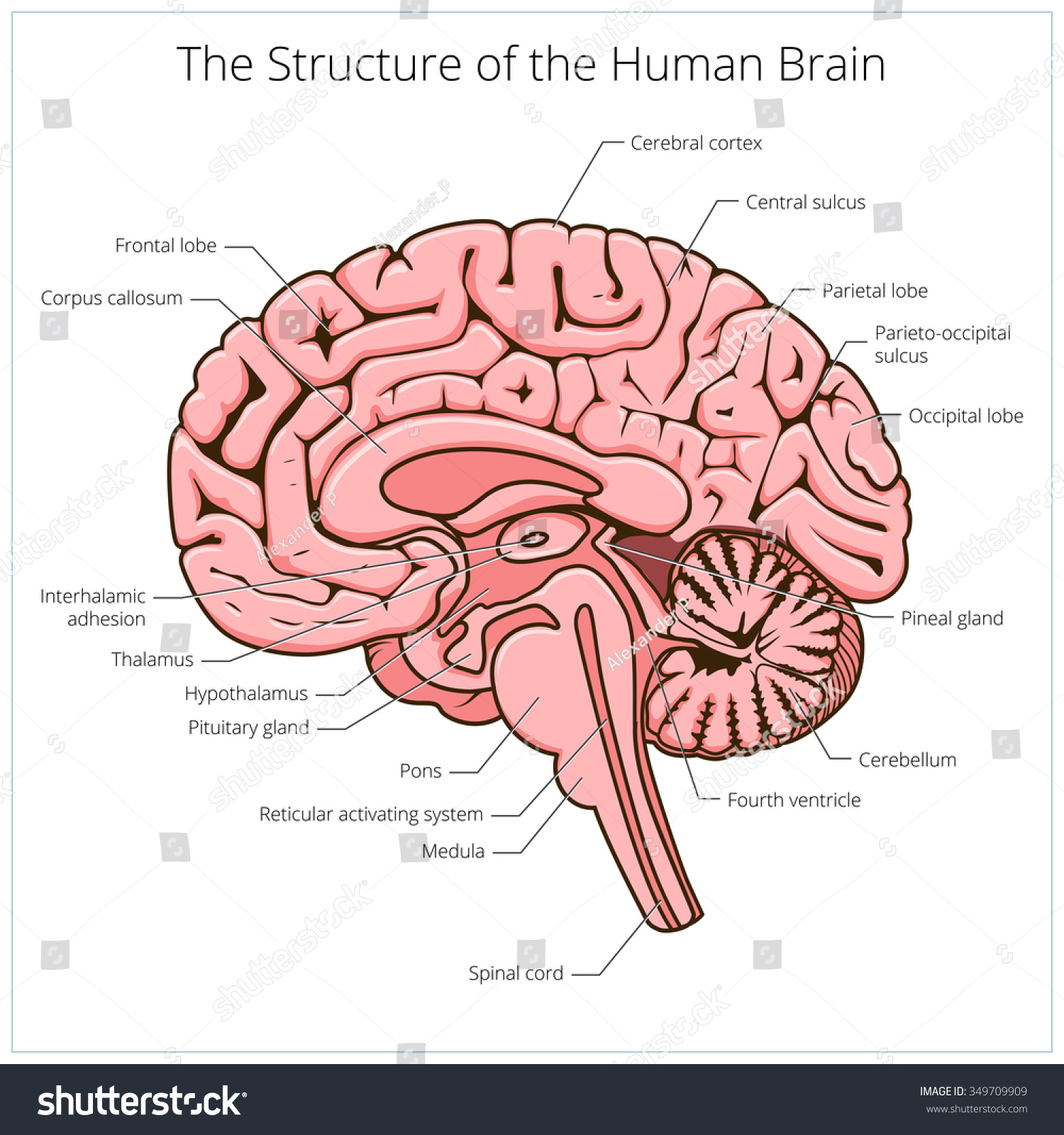 human brain diagram cerebrum wiring a house youtube structure section schematic raster stock