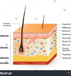 structure of the human skin anatomy diagram different cell types populating the skin  [ 1500 x 1308 Pixel ]