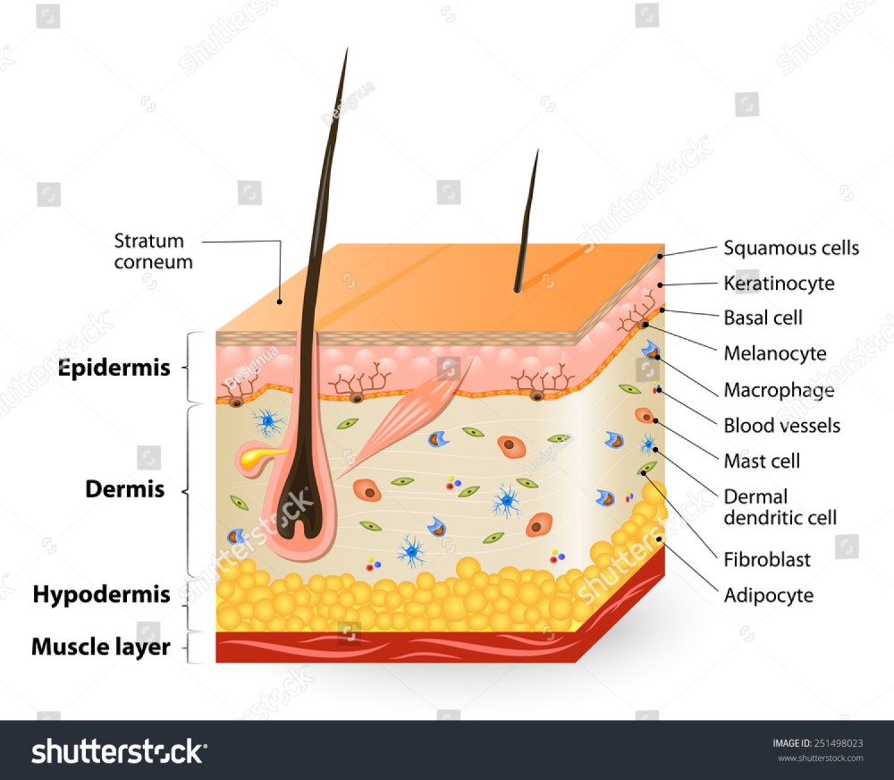 medium resolution of structure of the human skin anatomy diagram different cell types populating the skin