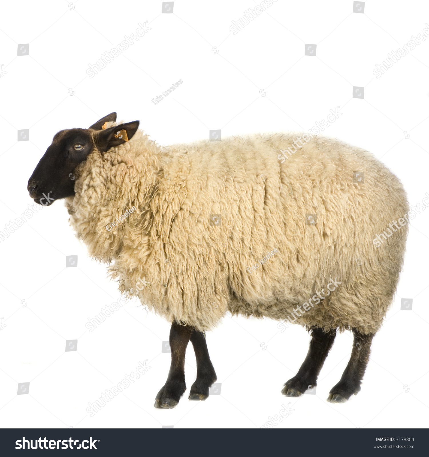 Suffolk Sheep Front White Background Stock Photo