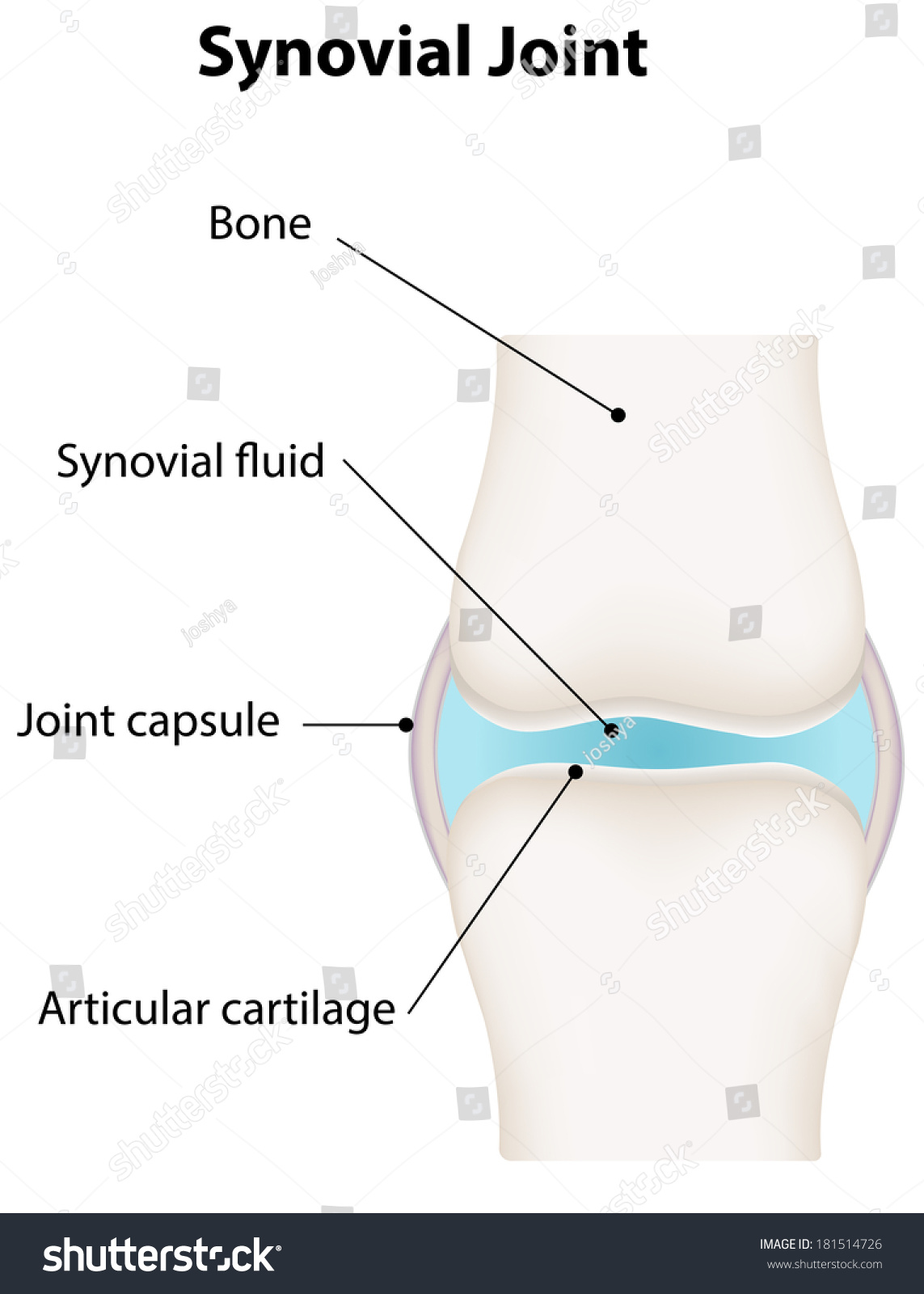 hight resolution of synovial joint diagram