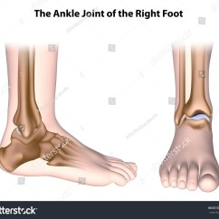 Joints Of The Foot Diagram 1995 Chevy Silverado 1500 Wiring Ankle Joint Anatomy Unlabeled Stock Illustration 229583710