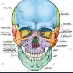 Human Skull Landmarks Diagram Trailer Plug Wiring Us Bones Cranium Head Individual Stock
