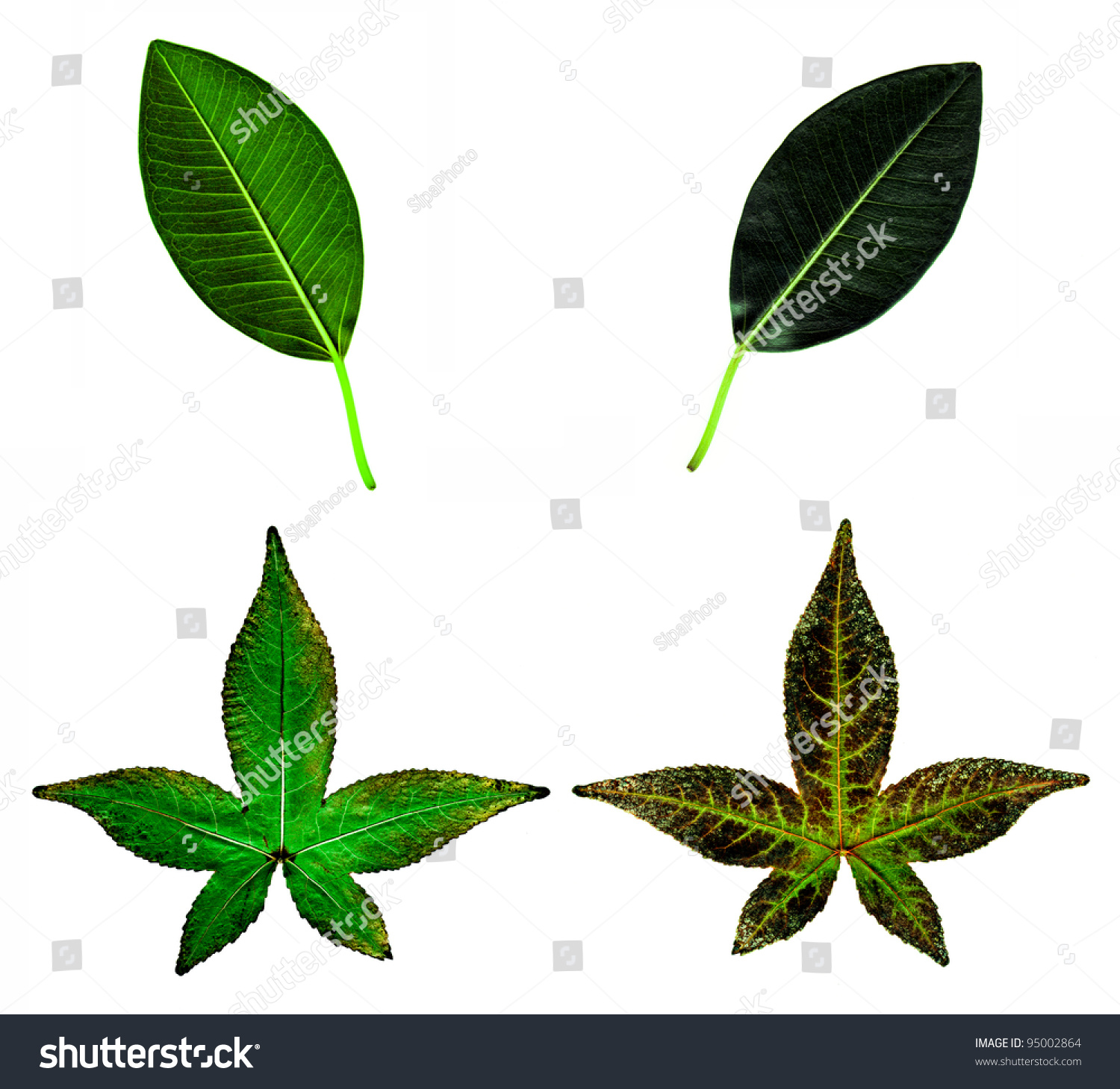 The Front And Back Of Two Different Types Of Leaves Stock