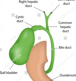 the gall bladder labeled diagram  [ 977 x 1600 Pixel ]