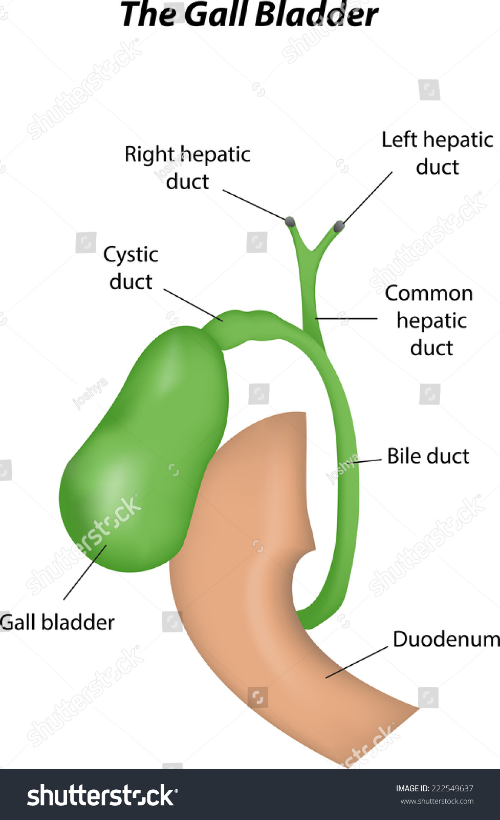 hight resolution of the gall bladder labeled diagram